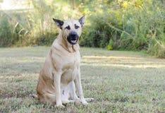 German Shepherd Mastiff mixed breed dog Stock Photography