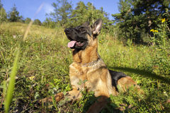 German shepherd on a meadow Royalty Free Stock Image