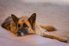 German shepherd in the meadow. portrait of a tired young german shepherd dog in the field.  royalty free stock photo
