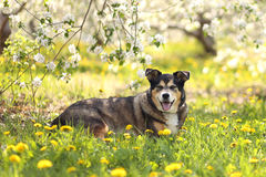 German Shepherd Mix Dog Laying in Flower Meadow at Apple Orchard Stock Images
