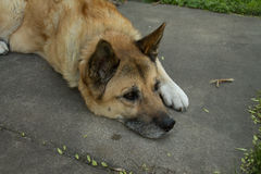 German Shepherd Mix Dog on Sidewalk. Elderly German Shepherd mix dog resting on sidewalk Stock Photo