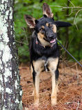 German Shepherd mixed breed dog Royalty Free Stock Photos