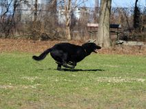 German shepherd in motion. Royalty Free Stock Photos