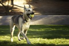 German Shepherd with Motion Blur. German shepherd dog with ball and motion blur Royalty Free Stock Photography