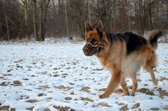 German Shepherd in muzzle Stock Photo