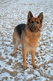 German Shepherd in muzzle Royalty Free Stock Photo