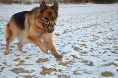 German Shepherd in muzzle Royalty Free Stock Photography