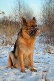 German Shepherd in muzzle Stock Images