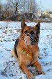 German Shepherd in muzzle Stock Image