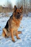 German Shepherd in muzzle Stock Photography