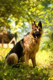 German shepherd in nature Stock Images