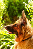 German shepherd on nature Royalty Free Stock Photos