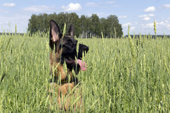 German shepherd among oats Royalty Free Stock Photo