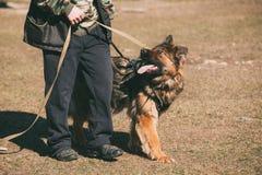 German Shepherd On Obedience Dog Training. Alsatian Wolf Dog Stock Photo