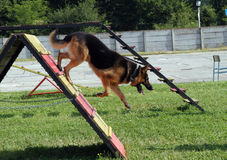 German Shepherd. In obstacle course royalty free stock photography