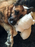 German Shepherd. Old German Shepherd enjoy sleeping Royalty Free Stock Photo
