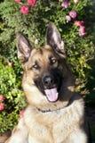 German Shepherd Outdoor Portrait Stock Photos