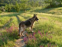 Dog German shepherd Royalty Free Stock Photography