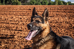 German Shepherd panting Stock Photo