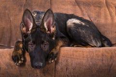 German shepherd pet Royalty Free Stock Image
