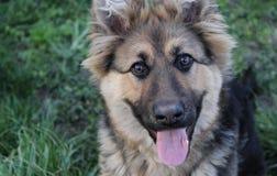 German shepherd. photo Royalty Free Stock Photography