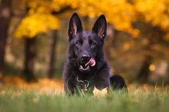 German shepherd. Photo of german shepherd shortcoat, solid black Royalty Free Stock Photography