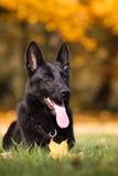 German shepherd. Photo of german shepherd shortcoat, solid black Royalty Free Stock Image