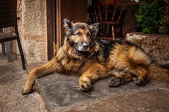 German Shepherd. Photograph of German Shepherd waiting for his owner at the door step Stock Images