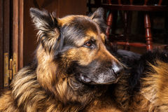 German Shepherd. Photograph of German Shepherd waiting for his owner at the door step Royalty Free Stock Images