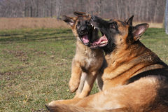 German Shepherd Playing. German Shepherd Big Male Playing With Puppy Royalty Free Stock Images