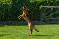 German Shepherd playing with a ball Royalty Free Stock Photography