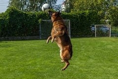 German Shepherd playing with a ball Stock Images