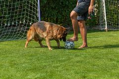 German Shepherd playing with a ball Stock Image