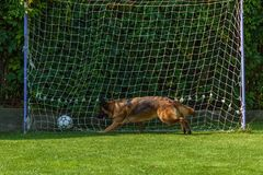 German Shepherd playing with a ball Stock Photo
