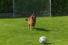 German Shepherd playing with a ball Stock Photography