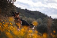German shepherd playing on field of yellow flowers and olive trees stock image