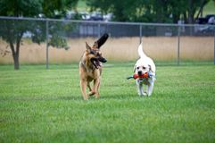 German Shepherd playing with a Lab Stock Photo