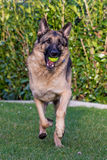 German Shepherd Playing Stock Image