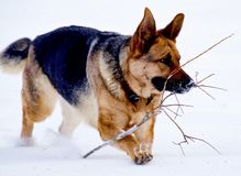 German Shepherd. Playing in the snow on a cold Canadian winter morning Royalty Free Stock Image