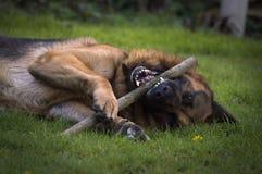 German shepherd. Playing with stick royalty free stock photo