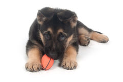 German Shepherd playing with toy white Royalty Free Stock Photography