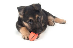 German Shepherd playing with toy white Royalty Free Stock Image