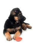 German Shepherd playing with toy white Royalty Free Stock Images