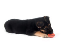 German Shepherd playing with toy white Stock Photography