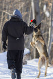 German shepherd playing in winter Stock Photography