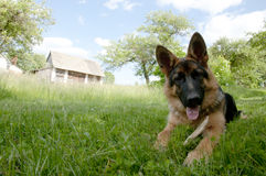 German Shepherd. Playing in the Yard royalty free stock photo