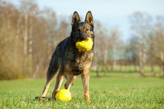German shepherd playing with yellow balls Royalty Free Stock Photography