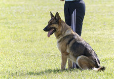 German Shepherd In Police K-9 Training Royalty Free Stock Photography