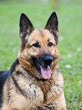 German shepherd portrait stock image