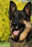 German shepherd portrait Royalty Free Stock Photos